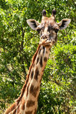 马塞人玛拉长颈鹿 免版税库存图片