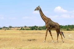马塞人玛拉长颈鹿 库存图片