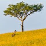 马塞人被变矮小的长颈鹿小牛 免版税库存图片