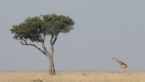 马塞人长颈鹿和树 股票视频