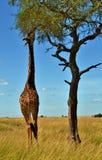 马塞人长颈鹿在肯尼亚 免版税库存照片