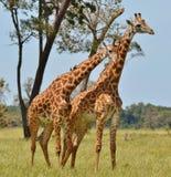 马塞人长颈鹿在肯尼亚 库存图片