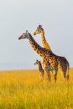 马塞人长颈鹿家庭 库存照片