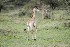 年轻马塞人长颈鹿长颈鹿tippelskirchi在坦桑尼亚 图库摄影