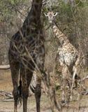 马塞人长颈鹿,塞卢斯禁猎区,坦桑尼亚 免版税图库摄影
