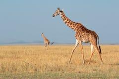 马塞人长颈鹿 免版税库存图片