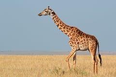 马塞人长颈鹿 库存图片