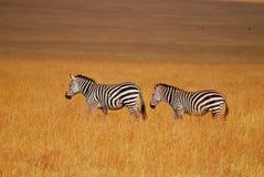 在马塞语mara的斑马 免版税库存图片