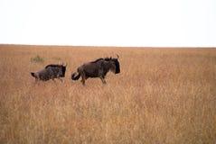 在马塞语mara的Wilderbeast 免版税库存照片