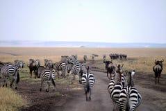 在马塞语mara的斑马 免版税图库摄影