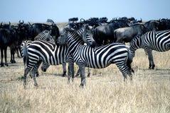 在马塞语mara的斑马 库存图片