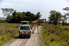 马塞语玛拉,肯尼亚- 1月04日:走沿路的长颈鹿我 免版税库存图片