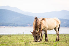 马夫妇吃草一起,湖和山背景 库存图片