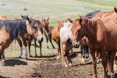 马小牧群在畜栏 图库摄影