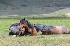 马小牧群在畜栏 免版税库存照片