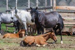 马小牧群在畜栏 库存照片