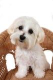 马尔他小狗 库存图片