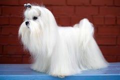 马尔他的狗 免版税库存照片