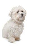 马尔他的狗 免版税图库摄影