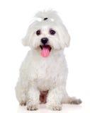 马尔他美丽的空白的Bichon 免版税库存照片