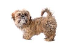 马尔他逗人喜爱的狗 免版税库存图片