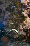 马尔代夫、潜水和色的珊瑚 免版税图库摄影