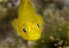 马尔代夫有黄色鱼,大嘴唇 库存照片