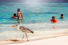 马尔代夫,海岛度假村- 2014年10月18日:与人的美丽的野生白色苍鹭马尔代夫agai的海滩胜地旅馆的 免版税库存图片