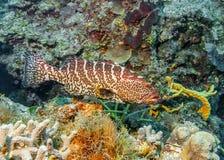 马尔代夫 老虎石斑鱼 库存图片