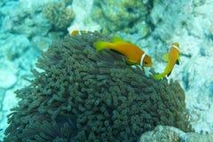 马尔代夫anemonefish双锯鱼nigripes 库存图片