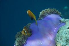 马尔代夫anemonefish双锯鱼nigripes 库存照片