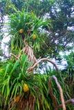 马尔代夫海岛Pandan树 图库摄影