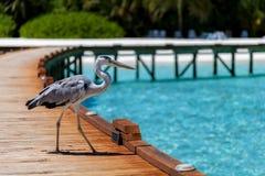 马尔代夫,一只地方鸟在桥梁站立 免版税库存图片