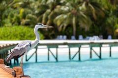 马尔代夫,一只地方鸟在海滩站立 库存图片