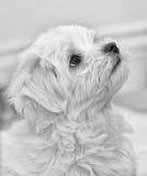 马尔他小狗 图库摄影