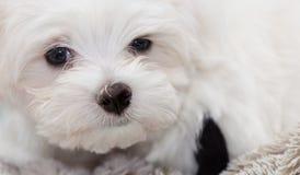 马尔他小狗 库存照片