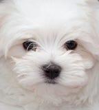 马尔他小狗 免版税库存照片
