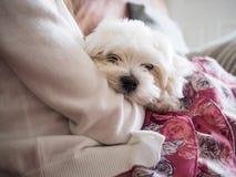 马尔他小狗 免版税图库摄影