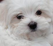 马尔他小狗 免版税库存图片