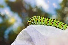 马尔他Swallowtail蝴蝶的Gren毛虫 库存图片