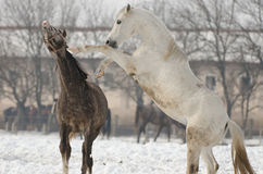 马属ferus caballus 图库摄影