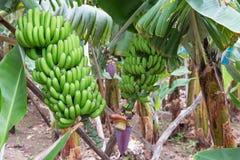 马德拉岛海岛的香蕉种植园 免版税库存图片