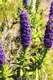马德拉岛的自豪感在马德拉岛的海岛的北部的山开花 图库摄影