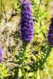 马德拉岛的自豪感在马德拉岛的海岛的北部的山开花 免版税库存图片