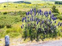 马德拉岛的自豪感在马德拉岛的海岛的北部的山开花 库存照片