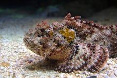 马德拉岛石鱼 图库摄影