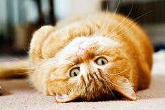 马恩岛猫的猕猴桃 库存图片