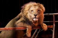 马戏在笼子的狮子画象 免版税库存图片