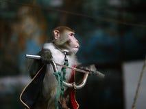 马戏循环的猴子 免版税库存照片