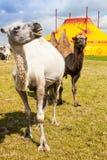 马戏骆驼 图库摄影